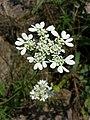 Orlaya grandiflora sl3.jpg
