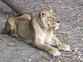 Oroszlán - Lion in the Szeged Zoo - panoramio.jpg