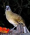 Ortalis vetula -Belize-8.jpg