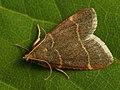 Orthopygia glaucinalis (39415789590).jpg