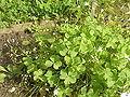 Oxalis arborea1.jpg