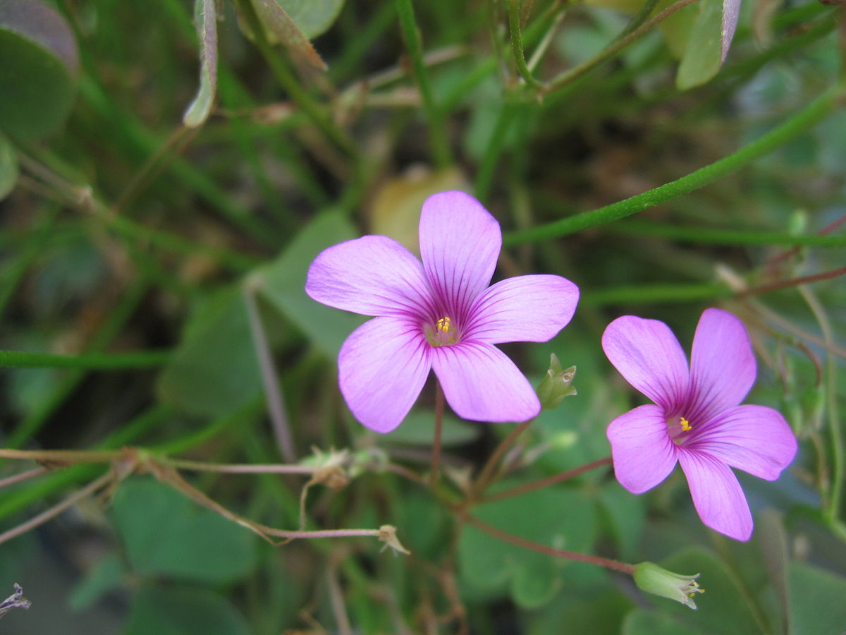 Oxalis articulata on list flowers