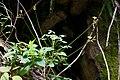 Oxalis peduncularis (Oxalidaceae) (30159263970).jpg