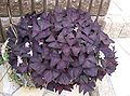 Oxalis triangularis5.jpg