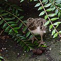 Oystercatcher Chick (14225223750).jpg