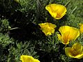 P20130507-0053—Eschscholzia californica(maritime form)—Point Reyes (8740931751).jpg
