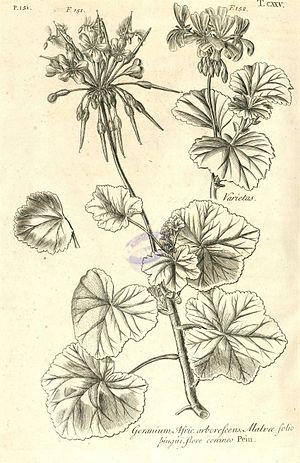 Johann Jacob Dillenius - Pelargonium inquinans, Hortus Elthamensis