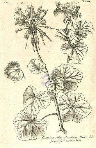 Pelargonium - Pelargonium inquinans, (Geranium Afric. arborescens), Hortus Elthamensis