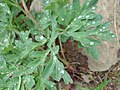 Paeonia brownii leaf after rain.jpg