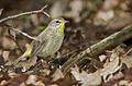 Palm-warbler-102.jpg