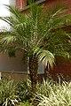 Palma Robelina (Phoenix roebelenii) (9) (14221993957).jpg