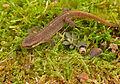 Palmate Newt (Lissotriton helveticus) juvenile (13538226244).jpg