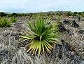 Pandanus heterocarpus at Anse Quitor Nature Reserve 3.jpg