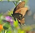 Papilio troilus (9621443391).jpg