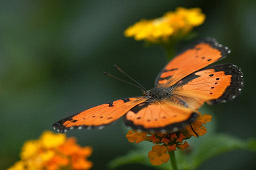Papillon Hunawihr 2