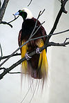 Paradisaea apoda -Kuala Lumpur Bird Park-8a