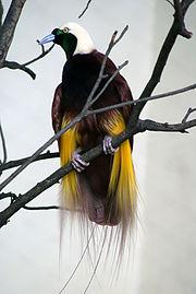 Paradisaea apoda -Kuala Lumpur Bird Park-8a.jpg