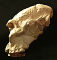 Paranthropus robustus (cast) at Göteborgs Naturhistoriska Museum 8787.jpg