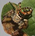Paraphidippus aurantius 1361.jpg