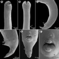 Parasite180099-fig3 Cucullanus austropacificus (Nematoda, Cucullanidae).png
