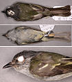 Paratype specimen pics. Myiopagis olallai coopmansi (15323891809).jpg