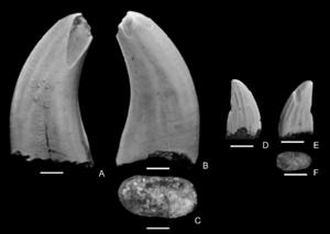Paronychodon - Two referred teeth