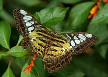 Parthenos sylvia-up.jpg