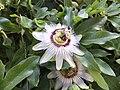 Passiflora caerulea flower 2.jpg