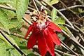 Passiflora f. bracteosa 0zz.jpg