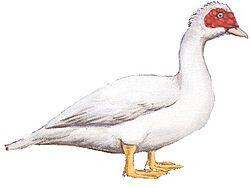 Cairina moschata  Wikipedia la enciclopedia libre