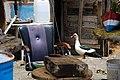 Pato en la Jolatería en Puerto Naos.jpg