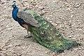 Pavo cristatus - Indian Peafowl, Adana 2016-12-16 01-2.jpg