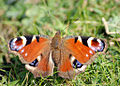 Peacock Butterfly (7026968119).jpg