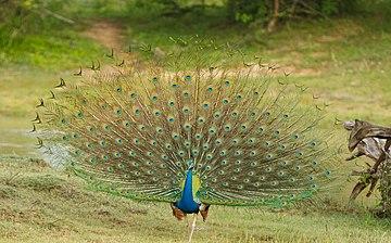 Peacock Dance.jpg