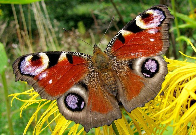 File:Peacock butterfly 1.jpg