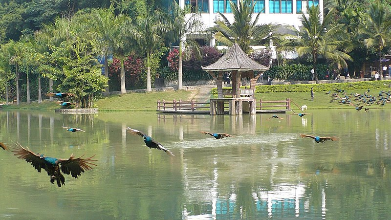 File:Peacocks flying over lake at the Xishuangbanna Primeval Forest Park - panoramio.jpg