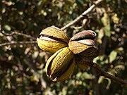 Ripe pecan nuts on tree