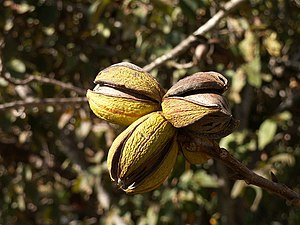 Pecans are common throughout Kirby
