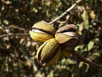 Pecan - Image: Pecan nuts on tree