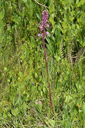 Pedicularis groenlandica - Henry M. Jackson Wilderness