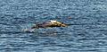 Pelecanus occidentalis taking off on Richardson Bay.jpg