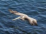 Pelican 4 (15583800412).jpg