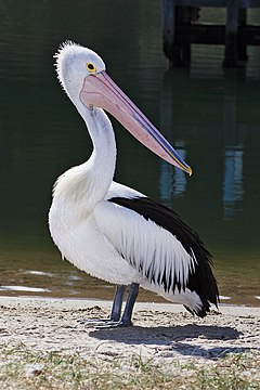 Pelican - Wikipedia, the free encyclopedia