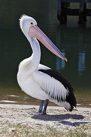 Australian pelican - Image: Pelican lakes entrance 02