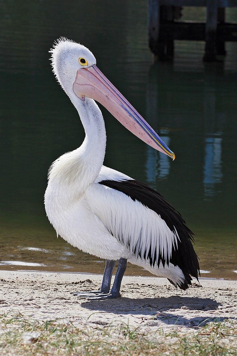 Przedstawiciel rodziny – pelikan australijski (P. conspicillatus)