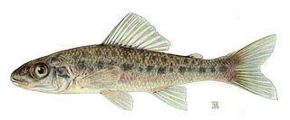 <i>Percopsis omiscomaycus</i> Species of fish
