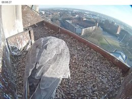 Ficheru:Peregrine falcon nest-scraping, Derby Cathedral.webm