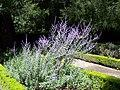 Perovskia atriplicifolia.jpg