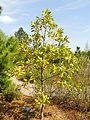 Persea borbonia - United States Botanic Garden - DSC09465.JPG