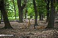 Persian Fallow Deers in Dasht-e Naz Wildlife Refuge 2020-06-02 14.jpg